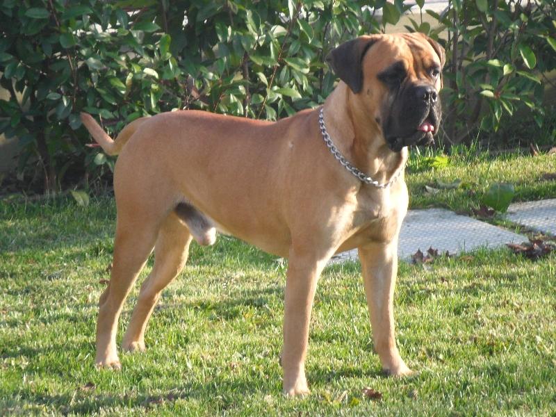 Il bullmastiff for Educazione cane